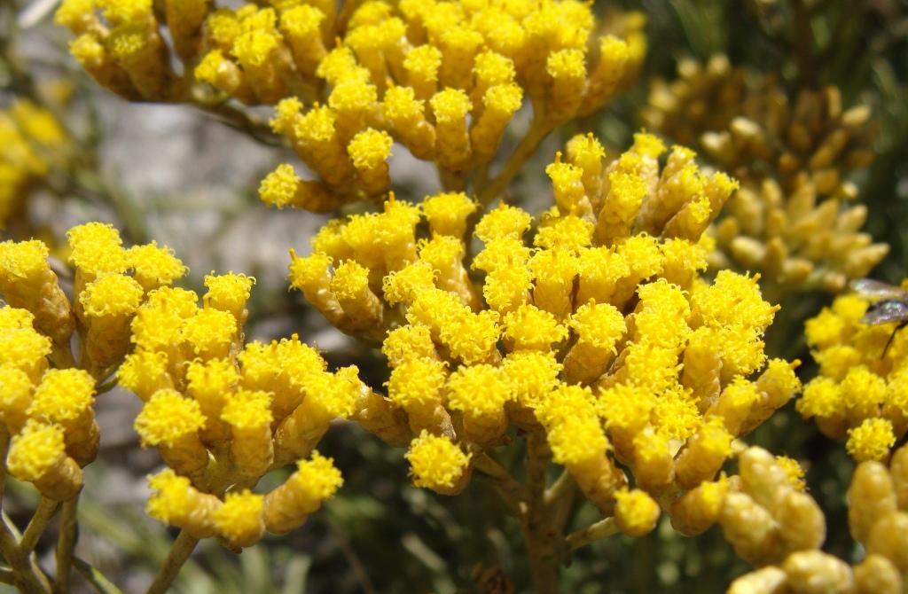 les fleurs au secours de votre peau huile essentielle de L'hélichryse italienne - Nappilla - luxembourg