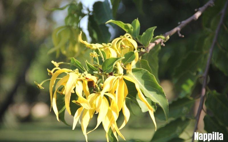 les fleurs au secours de votre peau ylang-ylang - Nappilla - luxembourg