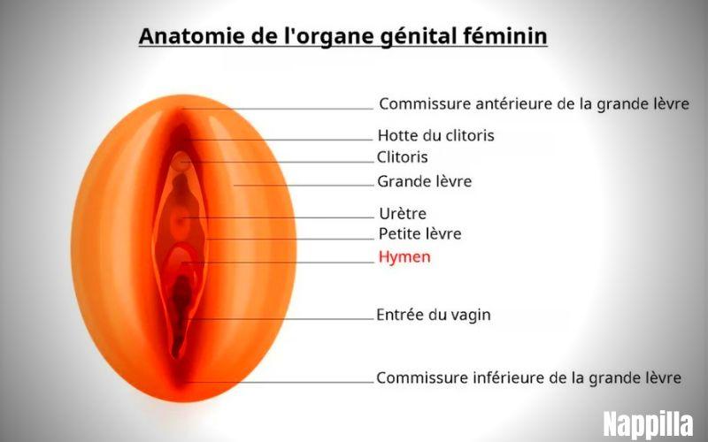 anatomie de l'organe génital féminin - touts savoir sur les serviettes hygiénique jetables - blog nappilla Luxembourg